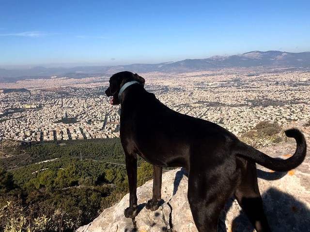 black dog staring view of athens form top of mount hymettus
