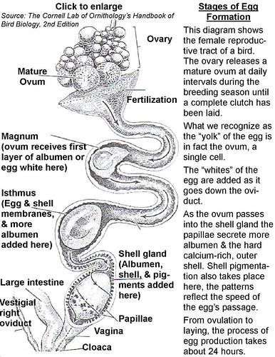 Egg Production Cornell Lab of Ornithologys Handbook of Bir