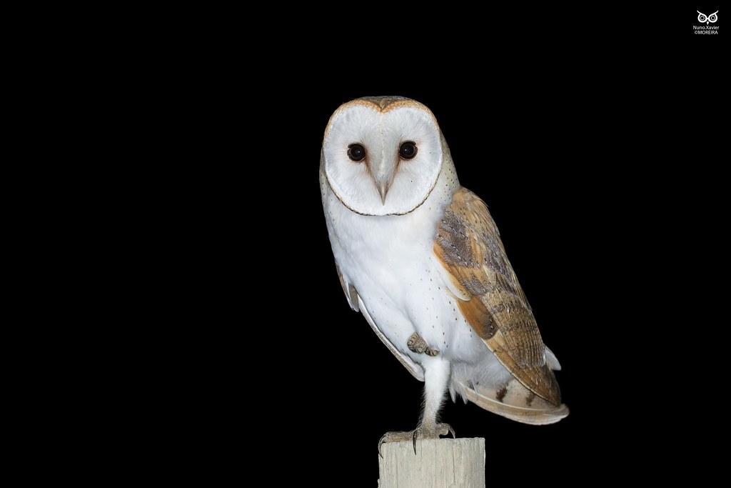 Corujadastorres Barn Owl Tyto alba  Vila Franca de