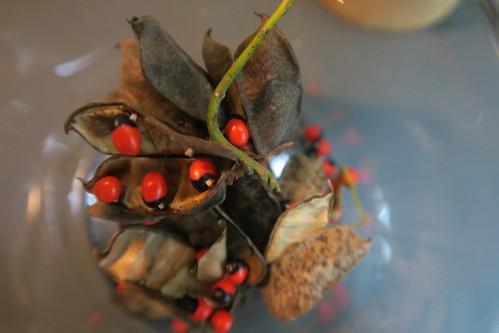 毒性的雞母珠卻是我最在乎的種子