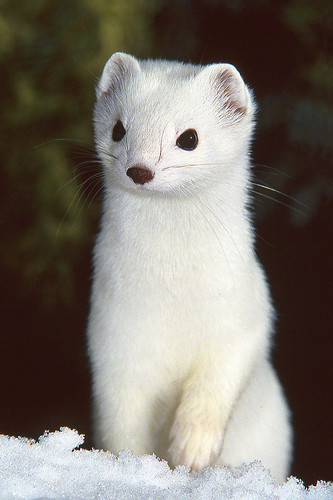 Cute Otter Wallpaper Pure White Ermine Short Tailed Weasel This Shot Goes