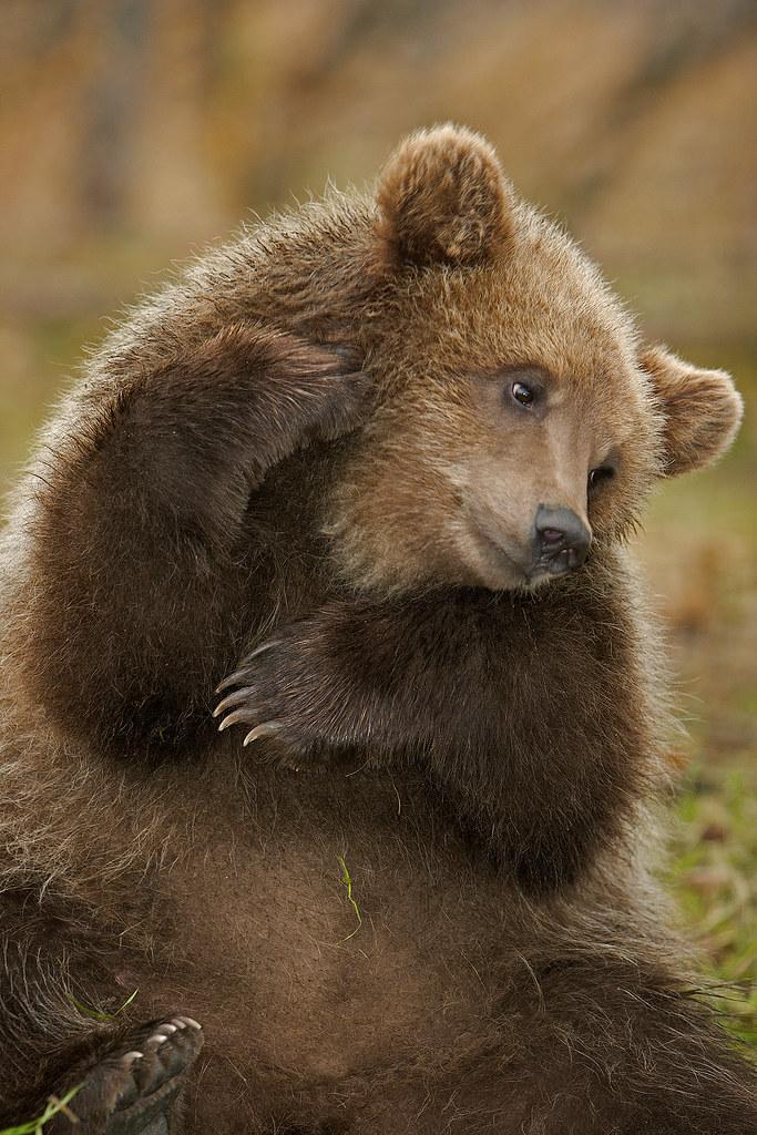 Brown Bear Cub With An Itch  Cute little Brown Bear Cub