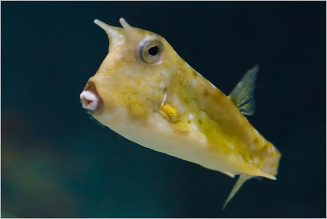 Yellow Cowfish