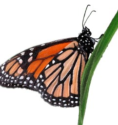 wanderer or monarch butterfly clipart lge 13cm watercolour by you get the picture [ 1005 x 921 Pixel ]