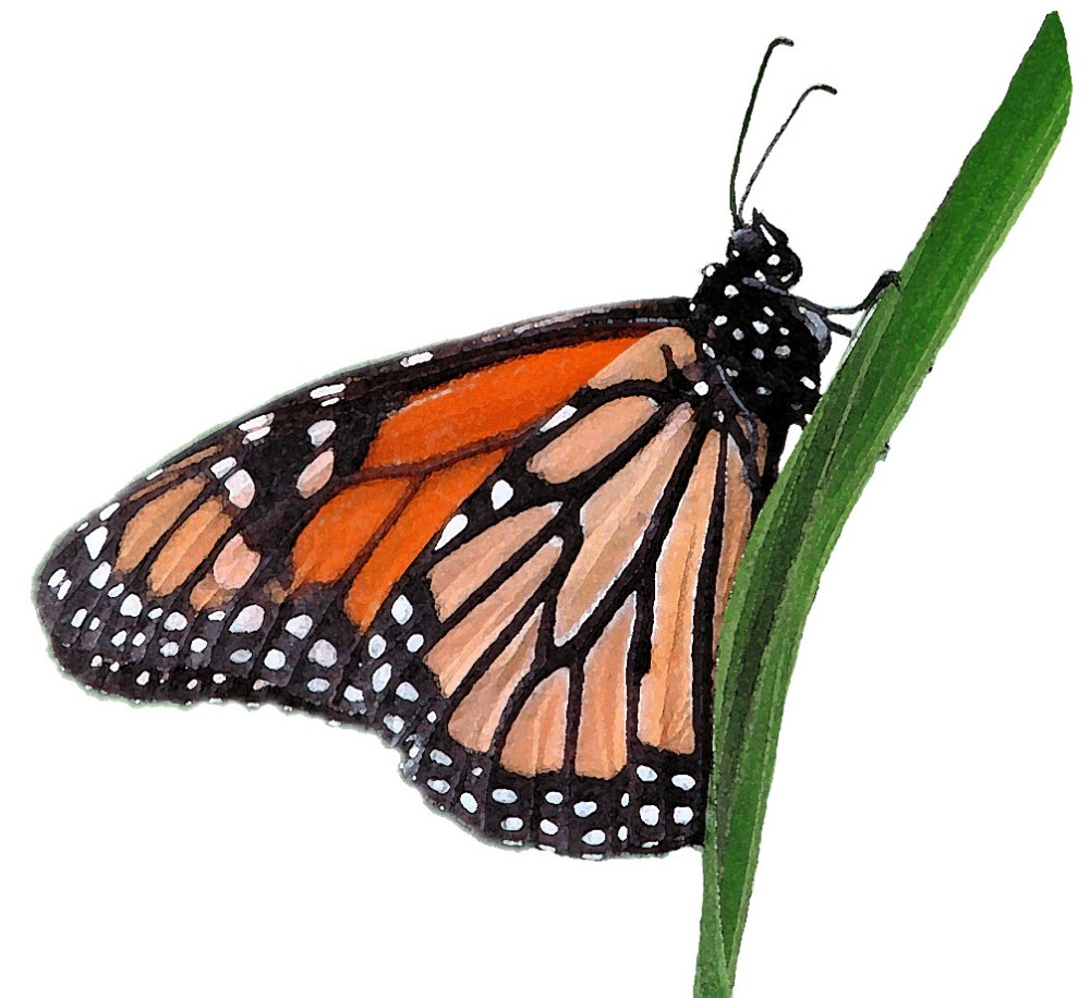 medium resolution of  wanderer or monarch butterfly clipart lge 13cm watercolour by you get the picture
