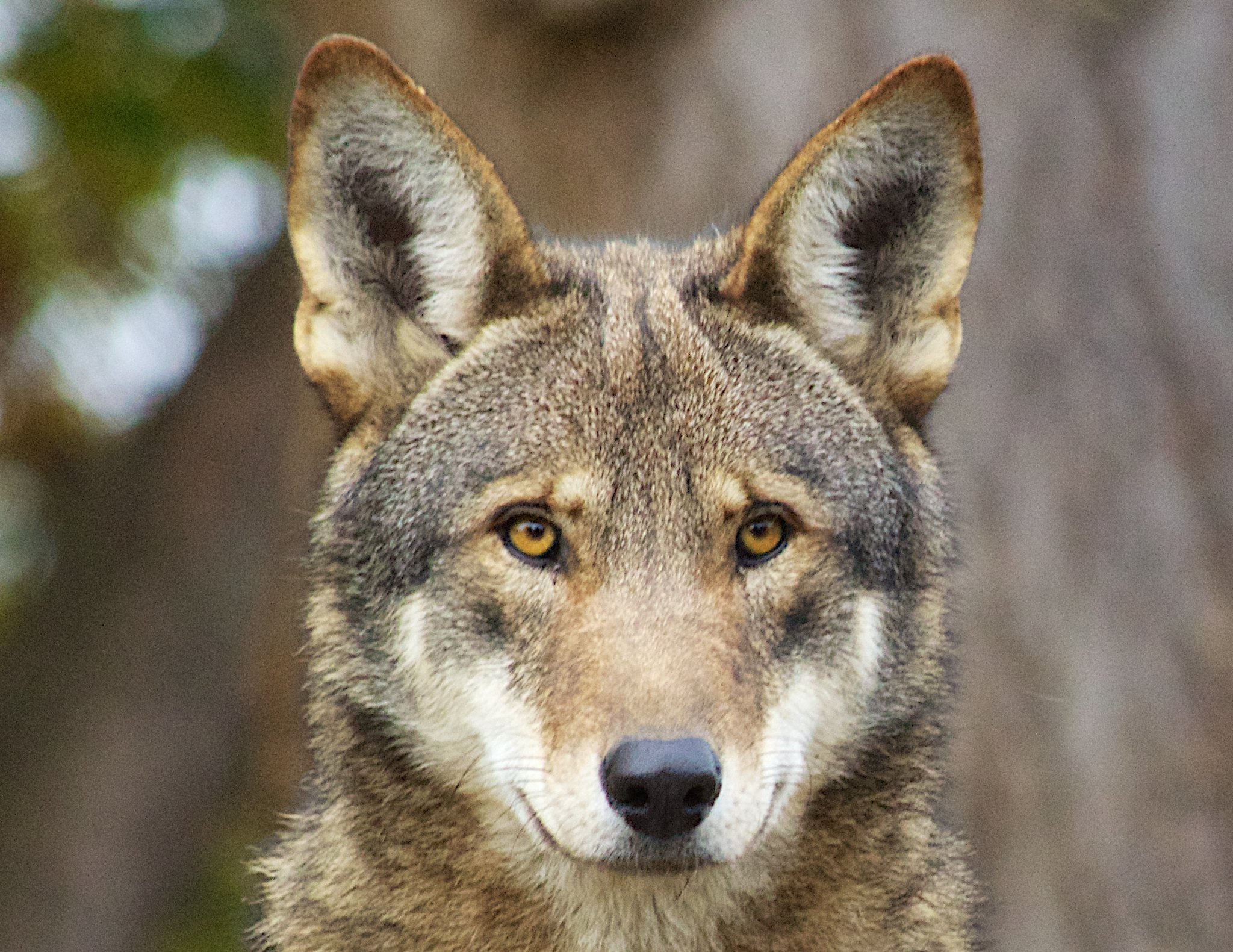 Red Wolf  Flickr