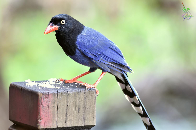Alder's Bird-watching Notes: 植物園臺灣藍鵲.Formosan Blue Magpie@Botanical Garden.2016/11/05