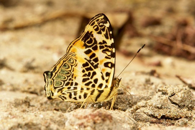 Himalayan or Spotted Jester (Symbrenthia hypselis, Nymphalidae)