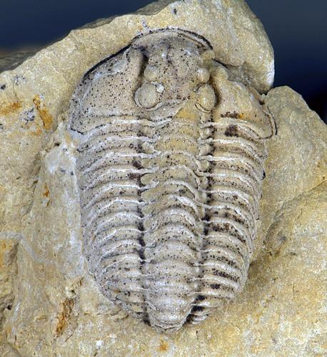 Sthenarocalymene celebra fossil trilobite Cedarville Dolo  Flickr