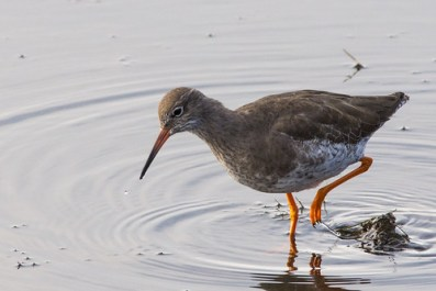 Redshank on the saltmarsh