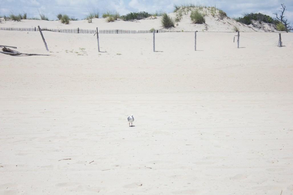 dewey-beach-delaware-seagull
