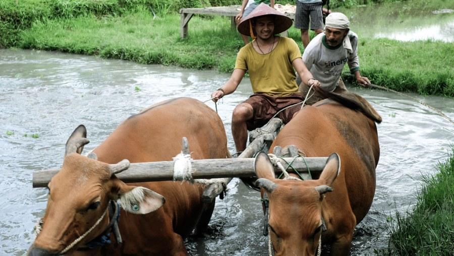 buffalo ride at rice paddies (21 of 25)