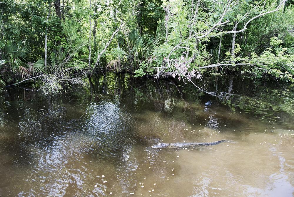 bayou-new-orleans-swamp-tour-gator-swimming