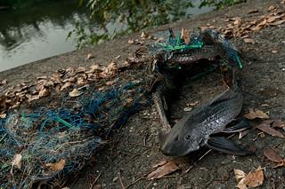 HST_110425_琵琶鼠魚_5688   琵琶鼠魚生命力強韌,其高度耐污性讓他廣布臺灣的溪流與排水溝,漁民或釣客在捕 ...