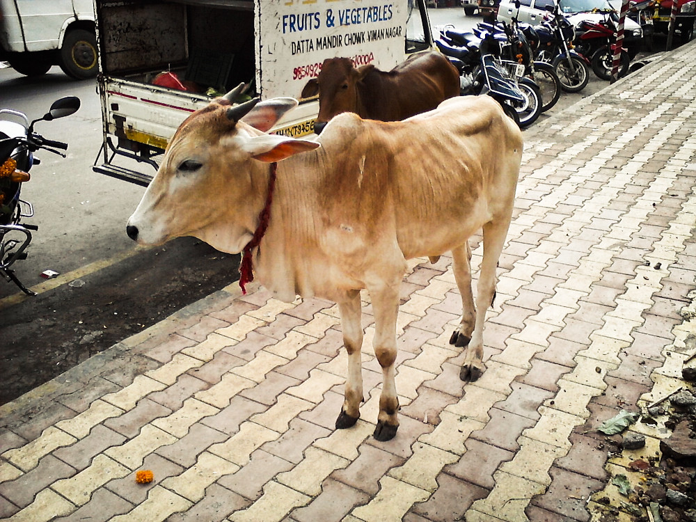 A skinny cow in India  I had taken these photos of the