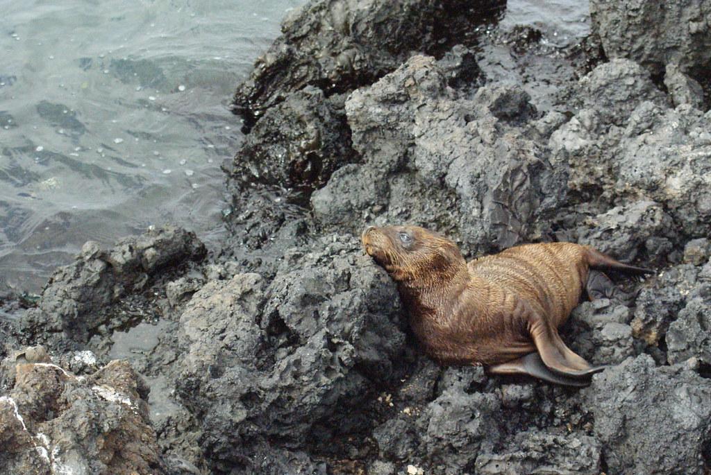 Baby Galapagos Sea Lion Zalophus Wollebaeki On Isabela