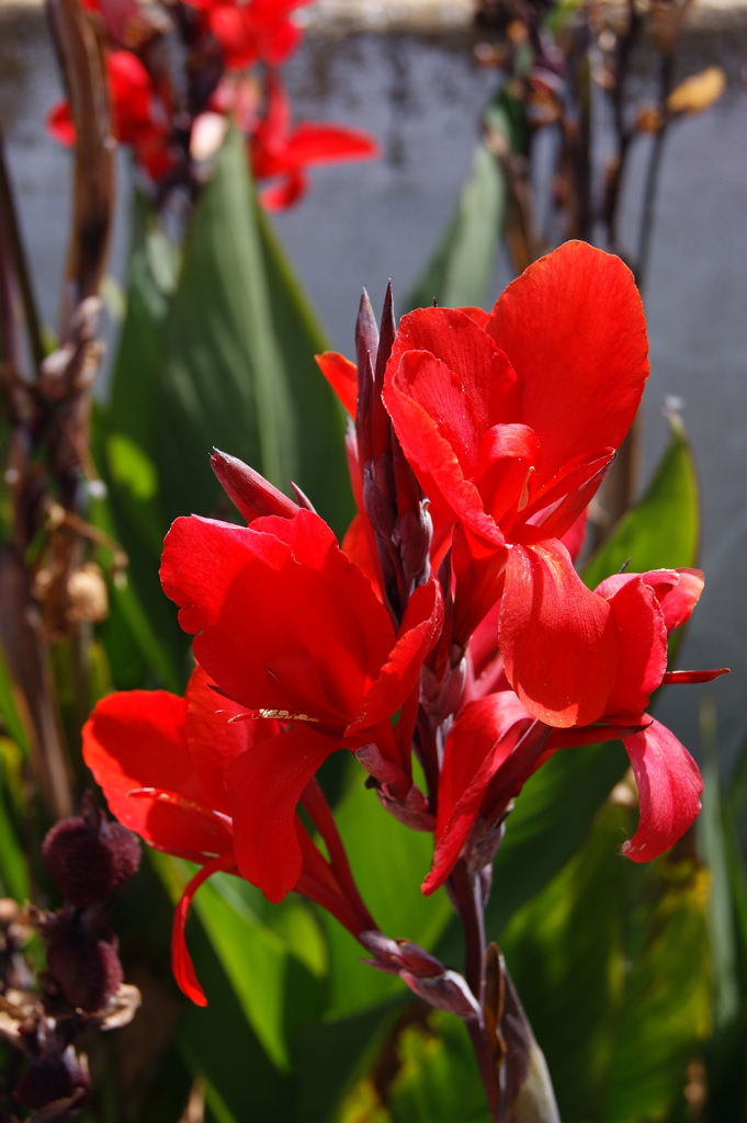 Canna indica  red Canna indica flower  jaquiManel  Flickr