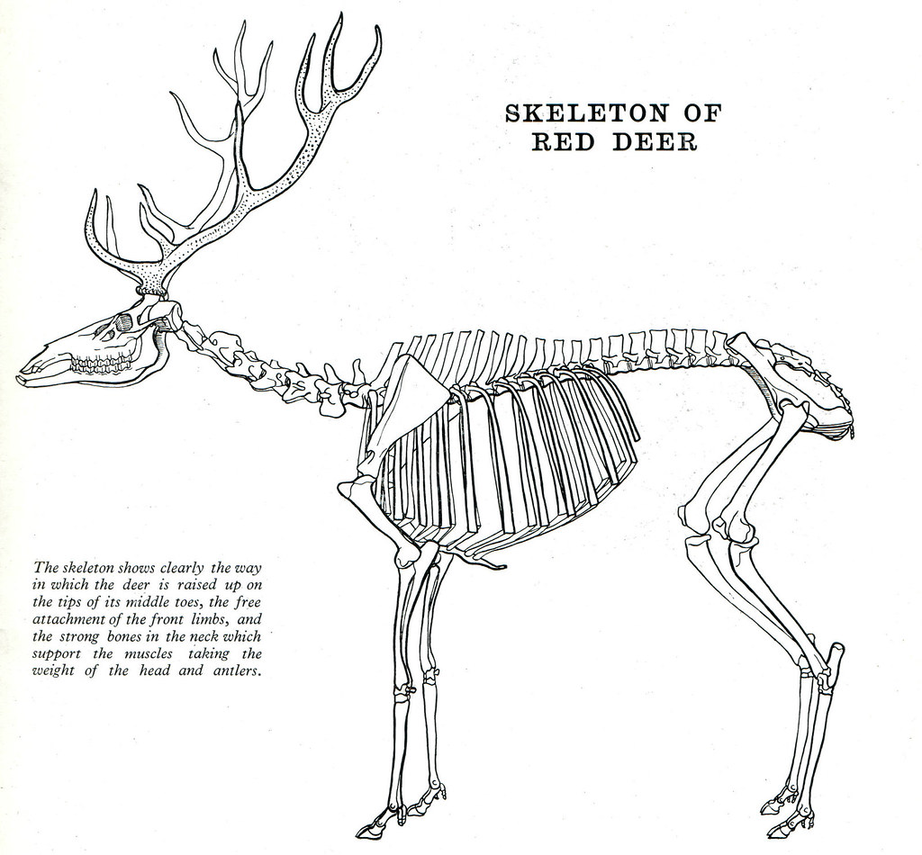 vole skeleton diagram club car precedent horn wiring 13 red deer by frank a johnson ric morris flickr