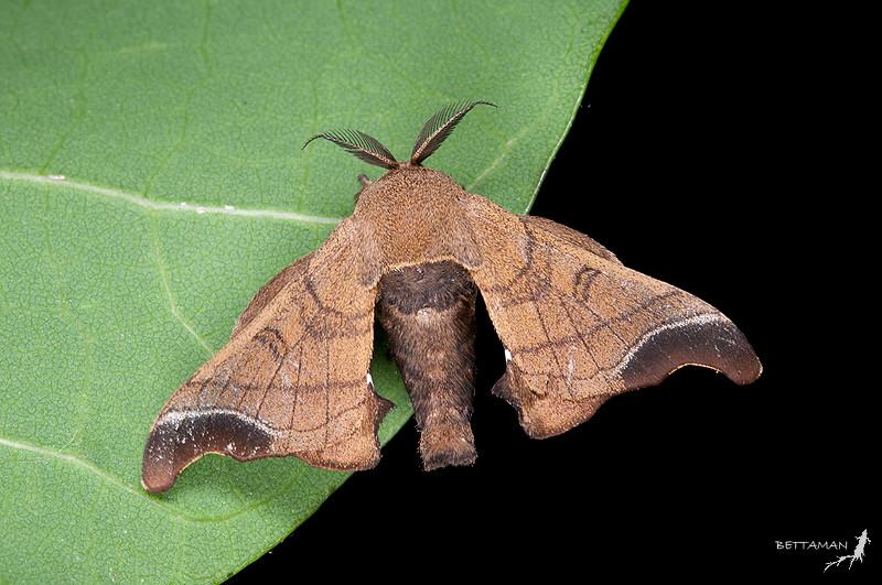 蠶蛾科/ Bombycidae | Flickr