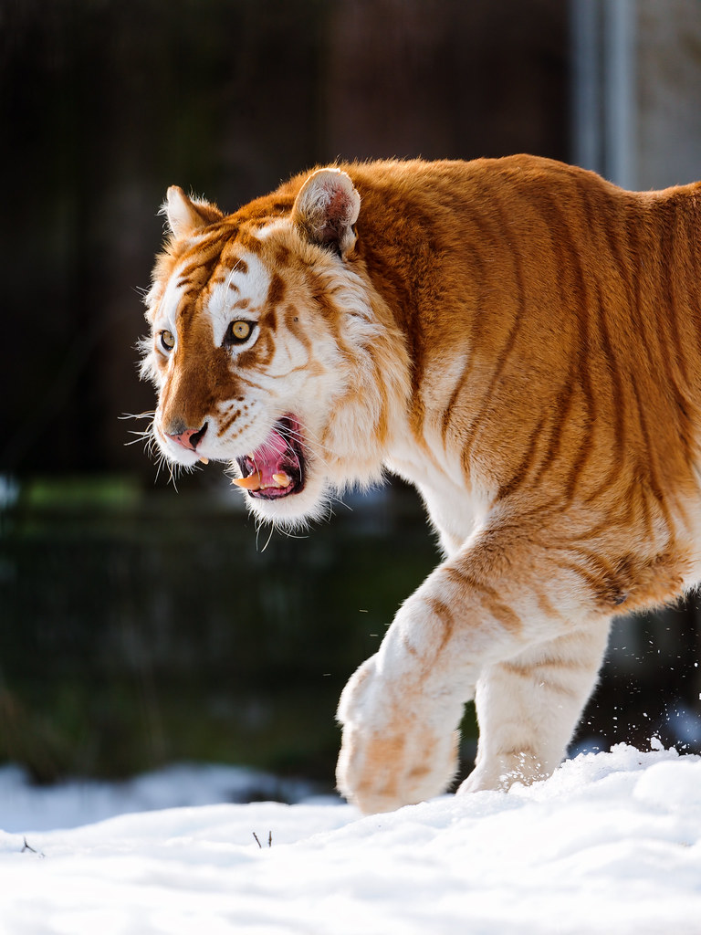 Exotic Animal Wallpaper Walking Golden Tiger With Open Mouth The Male Golden