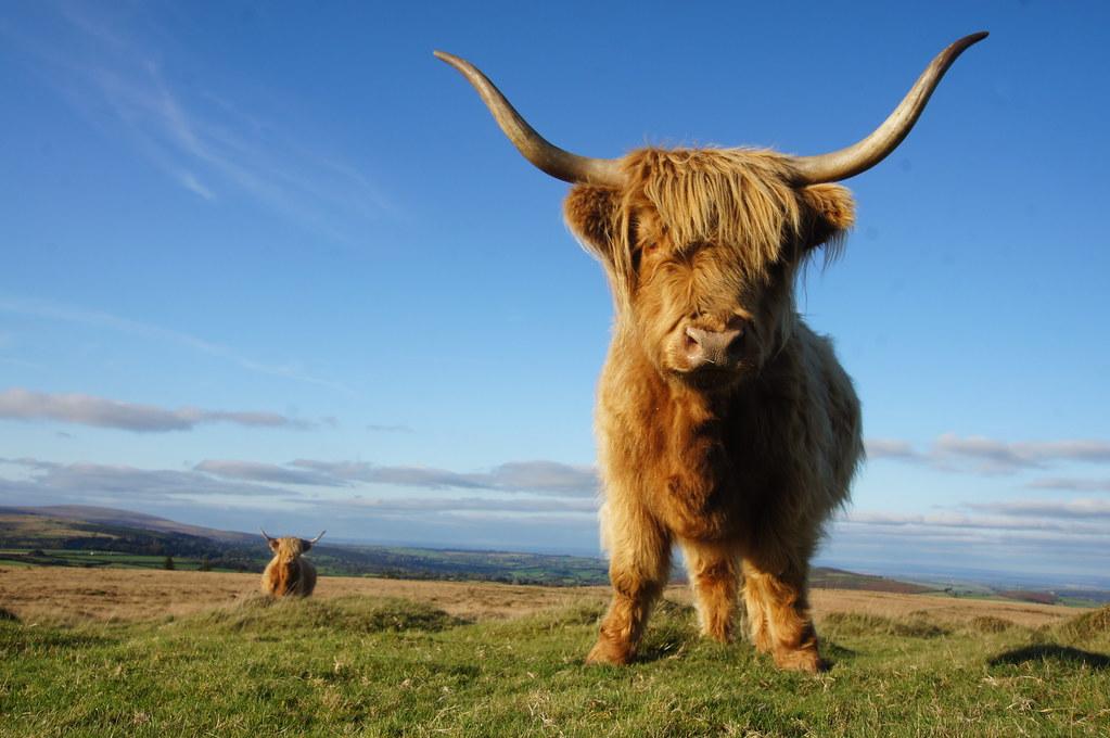 Highland cattle on Dartmoor  We crossed Dartmoor on Sunday   Flickr