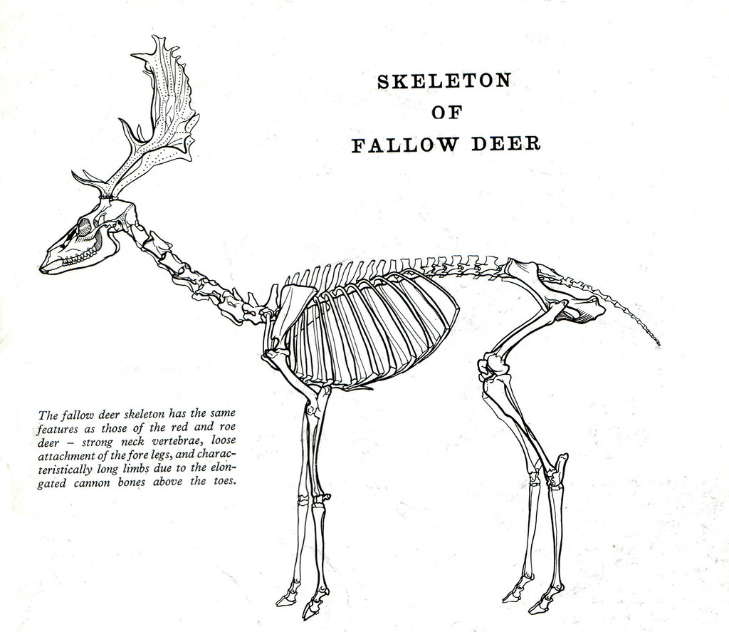 deer skeleton anatomy diagram telecaster wiring 2 humbucker 11 fallow by frank a johnson ric morris flickr