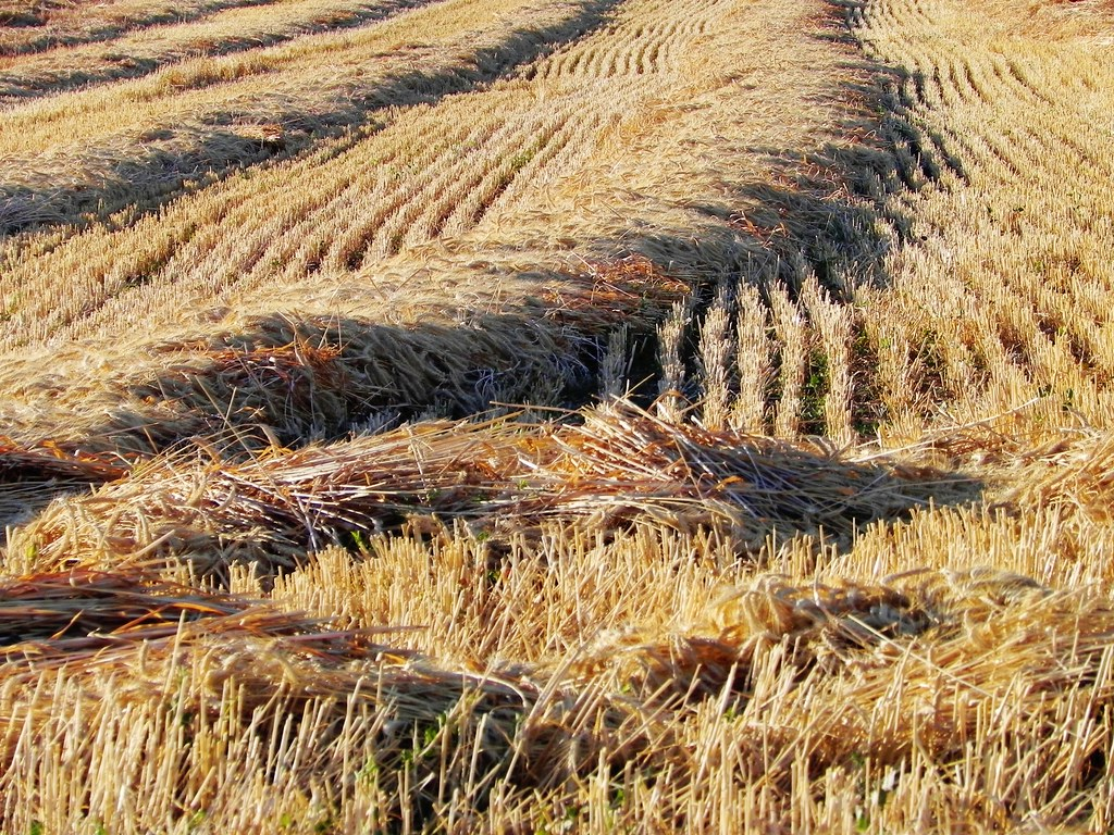 Barley Field Harvest At Fairfield California