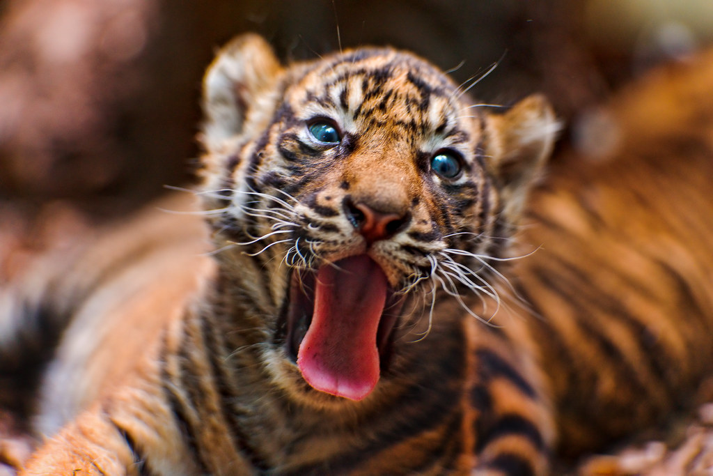 Cute Tiger Cubs Hd Wallpapers Yawning Tiger Cub Ii And One More Yawn It S Quite