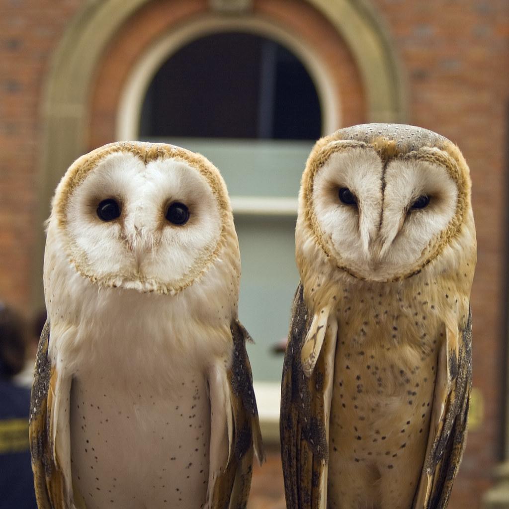 Cute Barn Tyto Owl Wallpaper Barn Owl Tyto Alba Onyx On The Left Is A British
