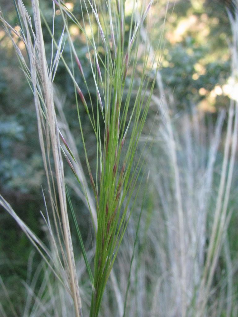 Austrostipa scabra Rough Spear Grass  Rough Spear Grass