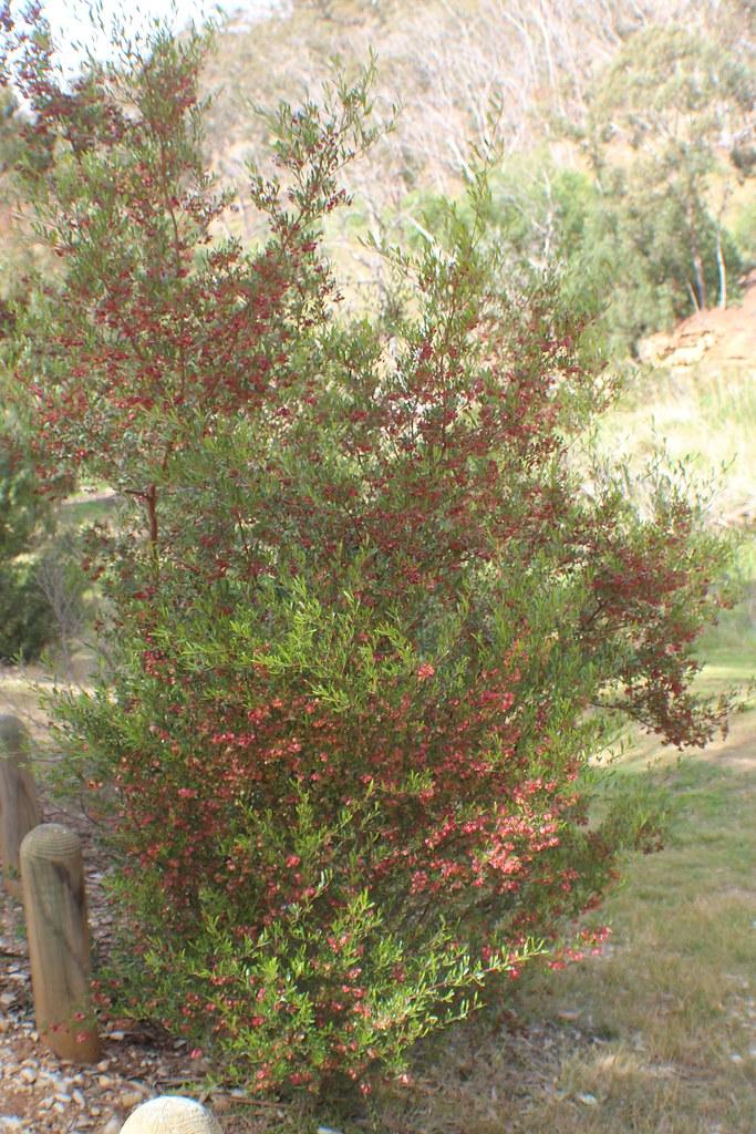Dodonaea Viscosa Subsp Cuneata Wedge Leaf Hop Bush Flickr