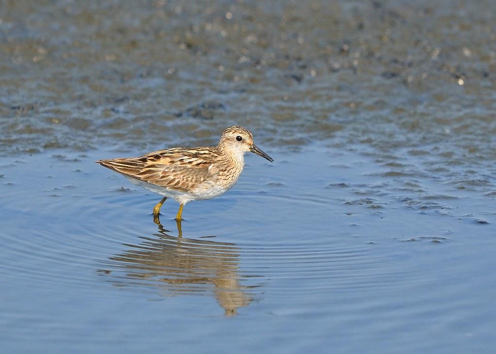 CYC_4701   長趾濱鷸〈Long-toed Suite〉鷸科,濱鷸屬,別名雲雀鷸。不普遍冬候鳥,8月至翌年5月出…   Flickr