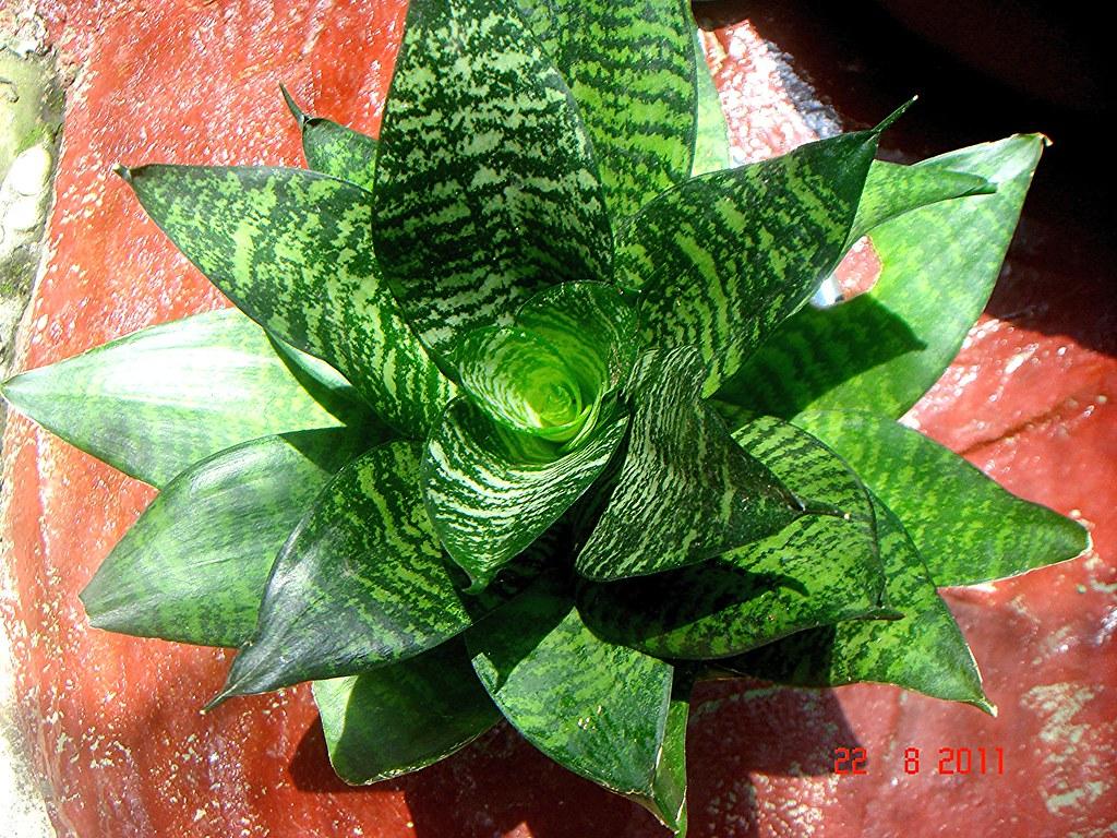 Sansevieria trifasciata Prain cv Hahnii  Mom Che Putehs Ga  Flickr