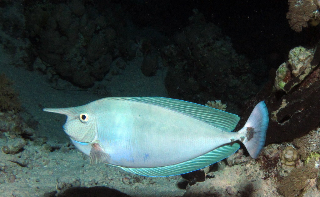 Spotted unicornfish Naso brevirostris at Dangerous Reef