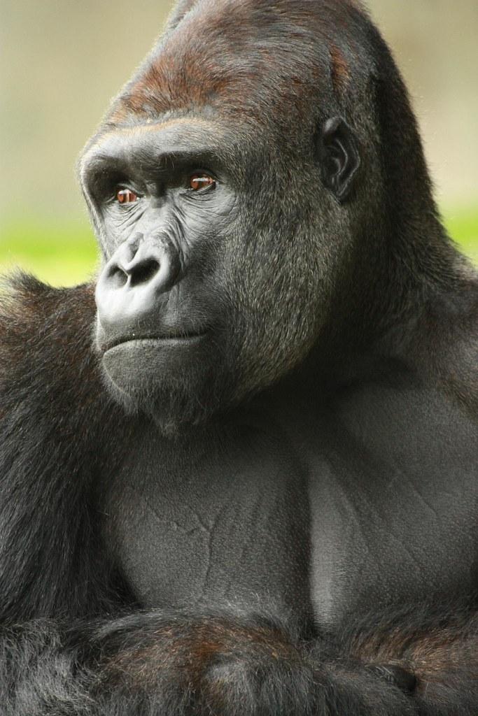 gorilla portrait  Barney Moss  Flickr