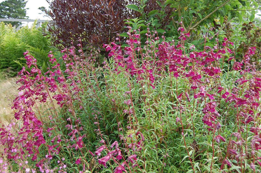 Penstemon Blackbird  FarOutFlora  Flickr
