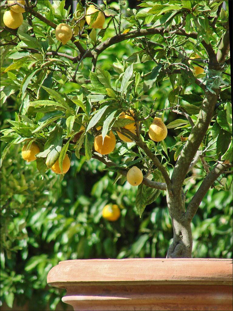 Jardin de la villa Borghse Rome  Citronnier dans le jard  Flickr