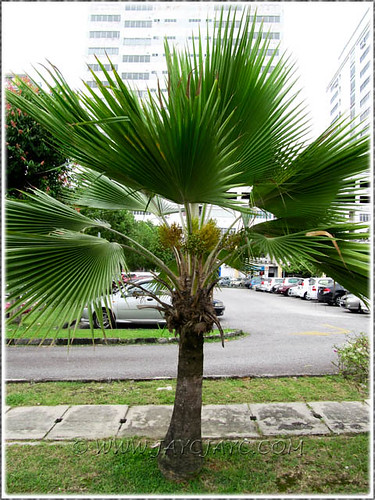 Pritchardia pacifica Fiji Fan Palm with its crowing beau