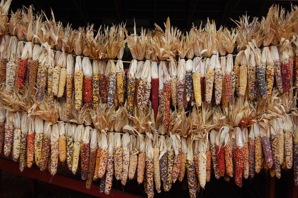 Indian Corn at Burts Pumpkin Farm Dawson County Georgia