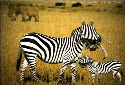 Photoshop animal hybris zebra  Photoshop animal hybris