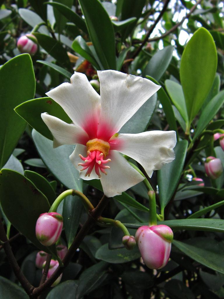 Flowers From A Strange Fruit Clusia Braziliana