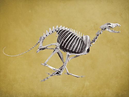 Running dog skeleton