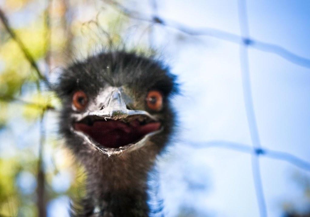 A Very Emo Emu I Visited The Berkshire Bird Paradise