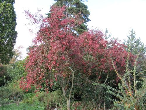 Euonymus europaeus Red Cascade  RHS Wisley Gardens near