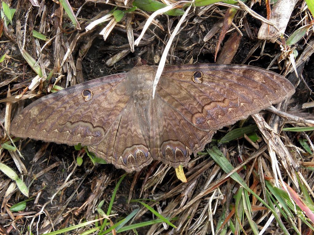 Polilla grande  Big moth  Algunas personas entre ellas mi  Flickr