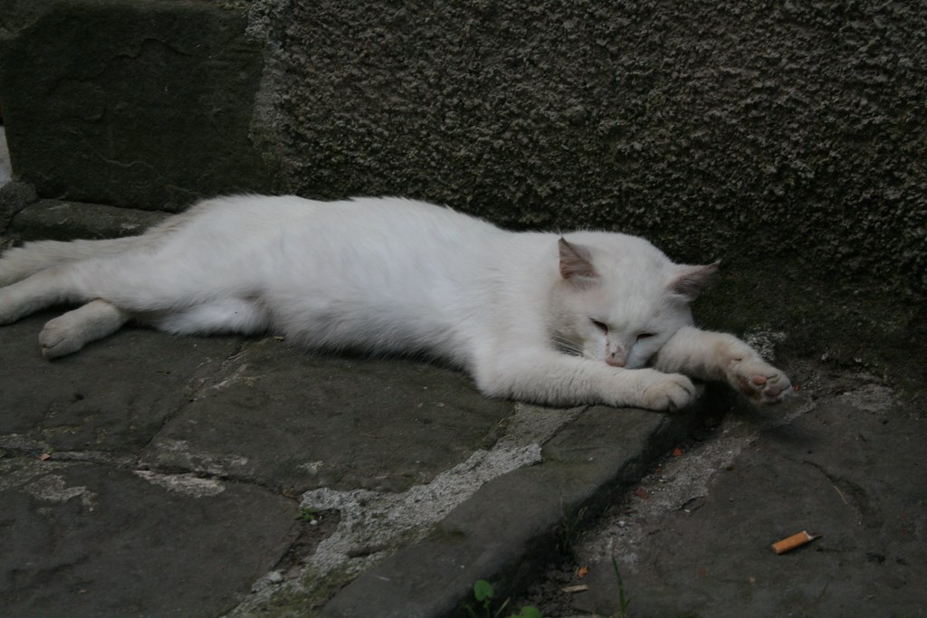 White Cat lying down in Lucchio Hill Top village  White