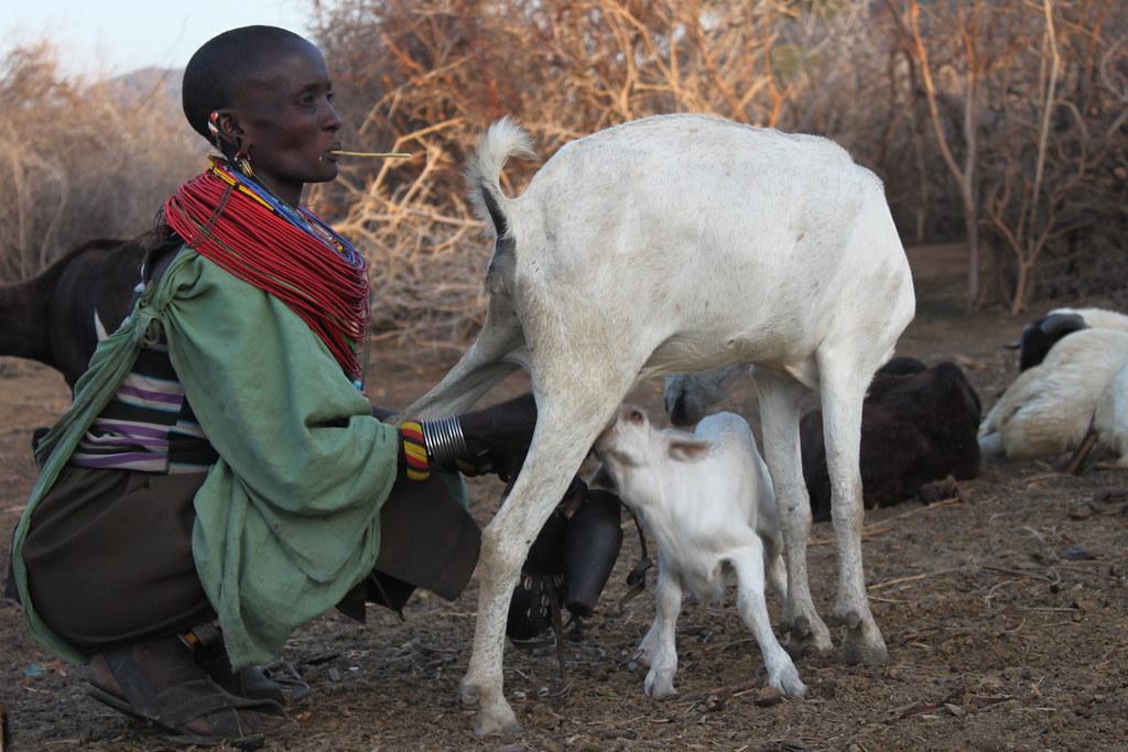 Samburu Woman Milking her GoatNamuniak  Conservancy