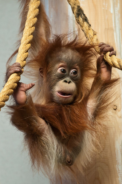 Hesty The Baby Orangutan Flickr Photo Sharing