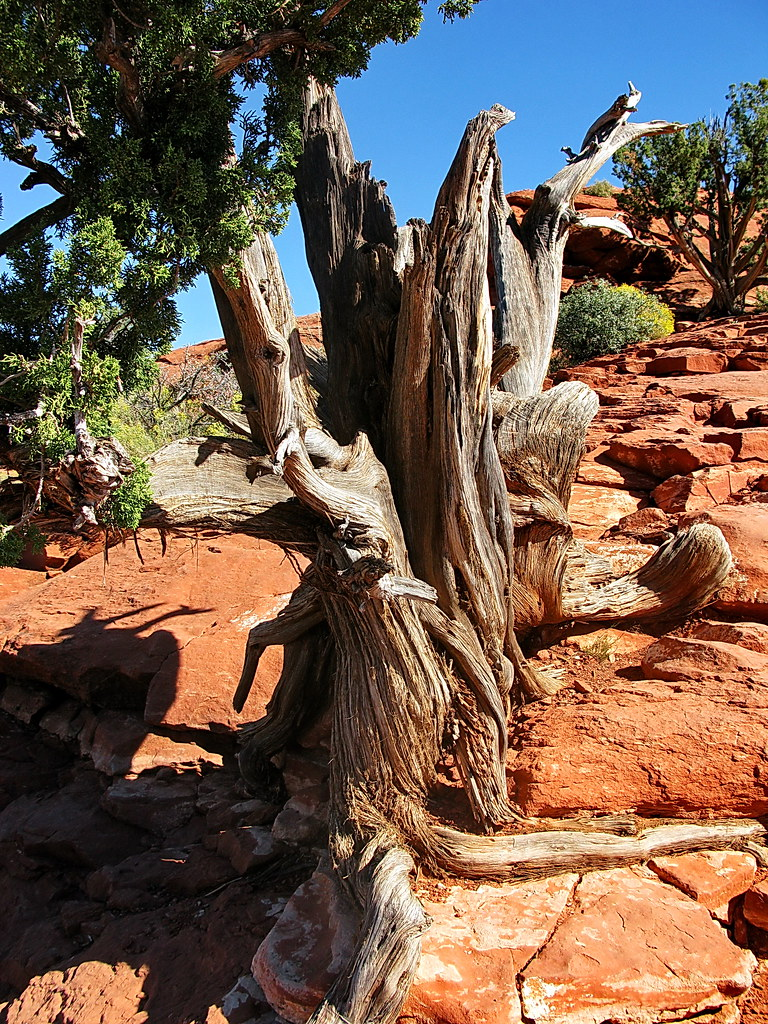 twisted juniper  Airport Mesa Vortex  Sedona Arizona
