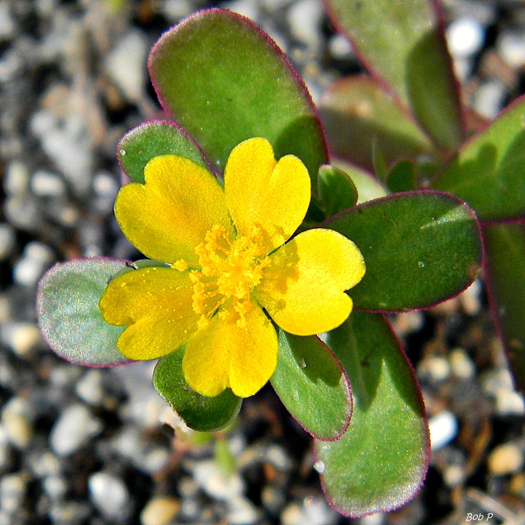 Purslane Portulaca oleracea  A tiny purslane plant